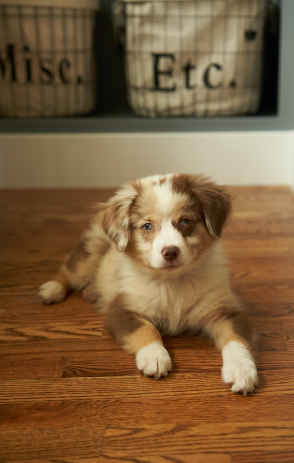 Adorable puppy laying on a hardwood floor