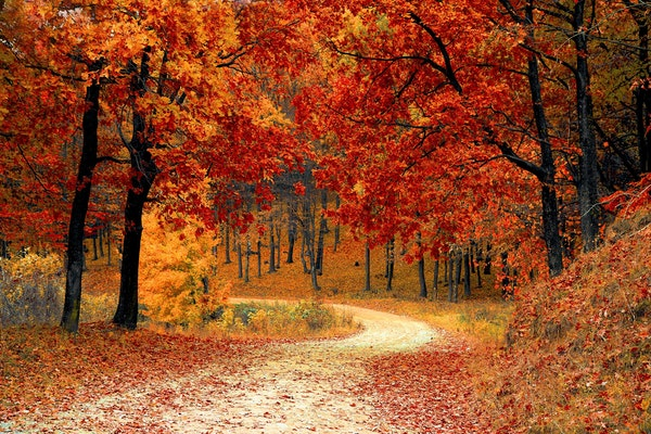 vibrant-autumn-leaves-in-woods-with-curving-dirt-road
