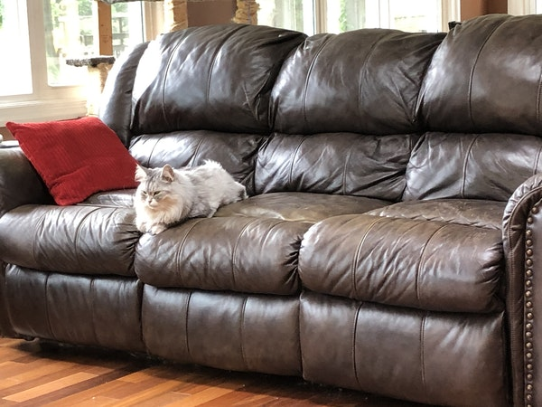 Gray-Siberian-Forest-Cat-sitting-on-leather-couch-in-living-area-with-hardwood-floors