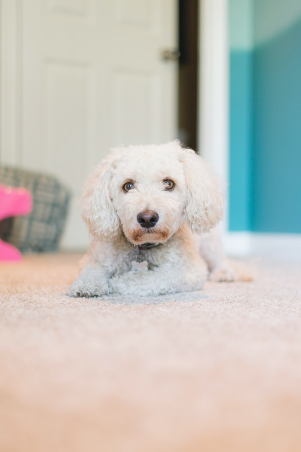 White puppy on a carpeted floor
